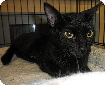 Domestic Shorthair Cat for adoption in Highland Park, New Jersey - POLLY WIGGLES