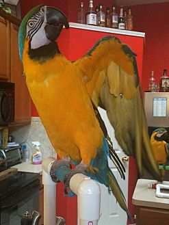 Macaw for adoption in Burleson, Texas - Cass
