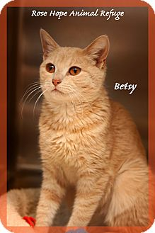 Domestic Shorthair Cat for adoption in Waterbury, Connecticut - Betsy