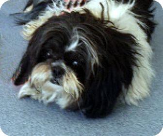 Shih Tzu Mix Dog for adoption in Las Vegas, Nevada - Mooney