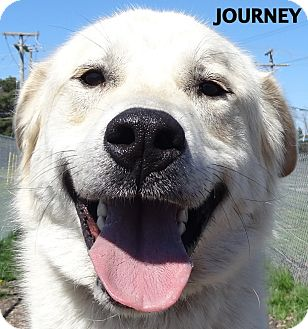 Great Pyrenees Mix Dog for adoption in Lapeer, Michigan - Journey-AWESOME boy!