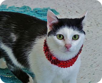 Domestic Shorthair Cat for adoption in Chambersburg, Pennsylvania - Kaye