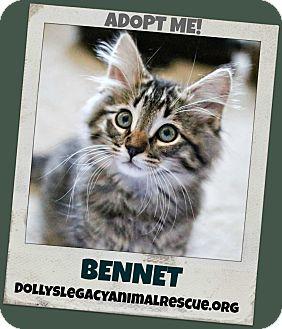 Domestic Longhair Kitten for adoption in Lincoln, Nebraska - BENNET