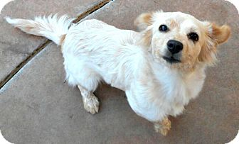 Dachshund/Australian Shepherd Mix Puppy for adoption in Oakley, California - Baby Calista