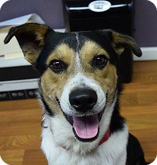 Australian Cattle Dog/Border Collie Mix Dog for adoption in Lisbon, Ohio - Dodger