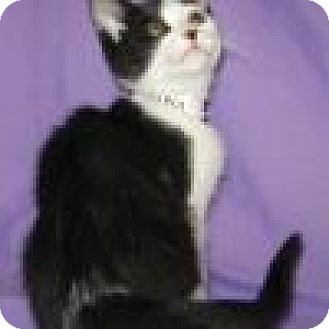 Domestic Shorthair Cat for adoption in Powell, Ohio - Wrigley