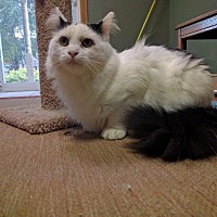 Domestic Mediumhair Cat for adoption in Chaska, Minnesota - Jersey
