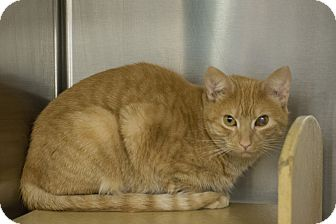 Domestic Shorthair Cat for adoption in Madison, Tennessee - Link - silly & snuggly