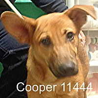 German Shepherd Dog Mix Dog for adoption in Greencastle, North Carolina - Cooper
