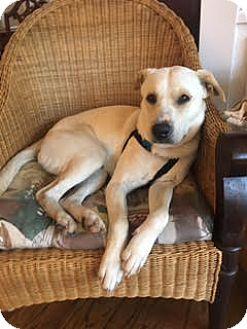 Labrador Retriever Mix Dog for adoption in Jacksonville, Florida - Duke