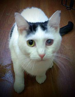 Domestic Shorthair Cat for adoption in Trevose, Pennsylvania - Shasta