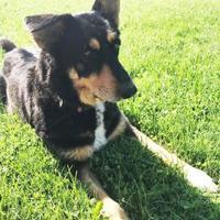 Adopt A Pet :: Brandy - Livingston, MT