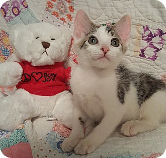 Domestic Shorthair Kitten for adoption in Highland, Indiana - Kitty Purry
