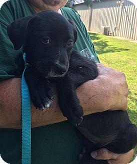 Labrador Retriever/Border Collie Mix Puppy for adoption in Spring Valley, New York - Summer