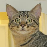 Domestic Shorthair/Domestic Shorthair Mix Cat for adoption in Woodstock, Illinois - Tigger