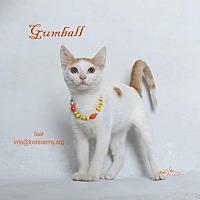Adopt A Pet :: Gumball - Riverside, CA