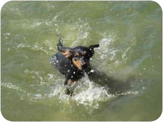 Australian Shepherd/Boykin Spaniel Mix Puppy for adoption in Glenburn, Maine - Dakota