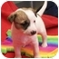 Photo 1 - American Staffordshire Terrier/Jack Russell Terrier Mix Puppy for adoption in Little Falls, Minnesota - Carma