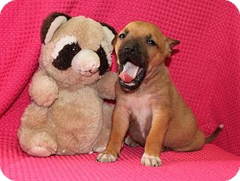 Boxer Mix Puppy for adoption in Salem, New Hampshire - Washington