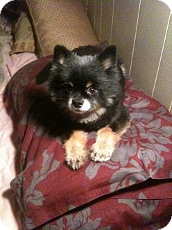 Pomeranian/Chihuahua Mix Dog for adoption in Westport, Connecticut - *Romeo - PENDING