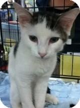Domestic Shorthair Kitten for adoption in Riverside, Rhode Island - Spencer