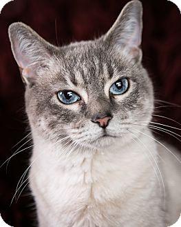Domestic Shorthair Cat for adoption in Eagan, Minnesota - Sarabi