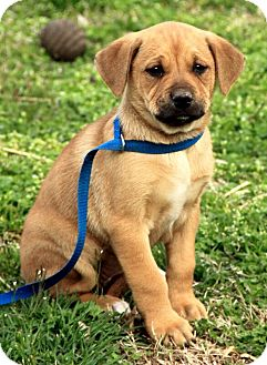 Mastiff Mix Puppy for adoption in Windham, New Hampshire - Dory