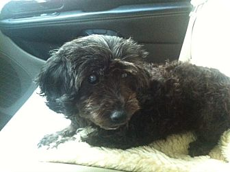 Poodle (Miniature) Mix Dog for adoption in Chicago, Illinois - NORA