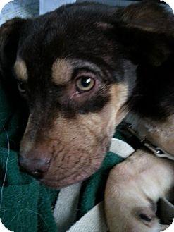 American Bulldog/Doberman Pinscher Mix Puppy for adoption in Westport, Connecticut - Chuckie PENDING