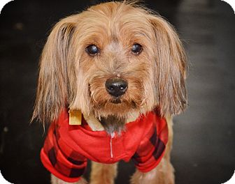 Yorkie, Yorkshire Terrier Mix Dog for adoption in Brooklyn, New York - Henry