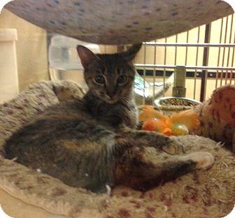 Domestic Shorthair Cat for adoption in Monroe, Georgia - Tulip