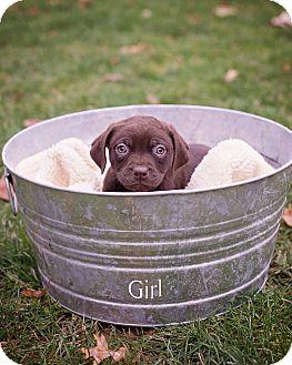 Labrador Retriever Mix Puppy for adoption in Salem, Massachusetts - Bonnie