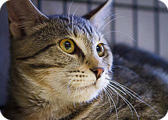 Domestic Shorthair Cat for adoption in Bulverde, Texas - Kristi