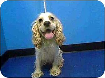Cocker Spaniel Dog for adoption in Flushing, New York - Franky