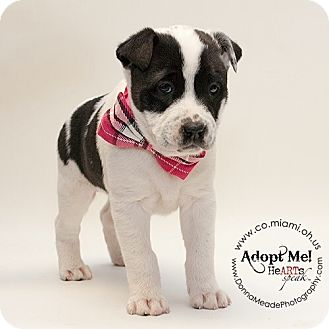 Border Collie Mix Puppy for adoption in Troy, Ohio - Cassidy-ADOPTED