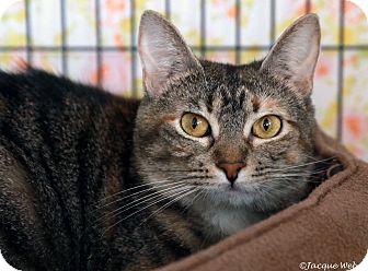 Domestic Shorthair Cat for adoption in St Louis, Missouri - Mia