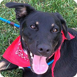 Shepherd (Unknown Type) Mix Dog for adoption in Denver, Colorado - Finley