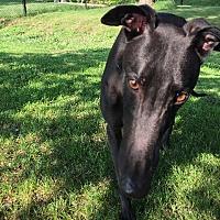 Adopt A Pet :: Tom - Swanzey, NH