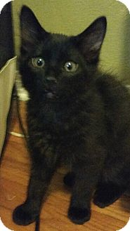 Domestic Shorthair Kitten for adoption in Tampa, Florida - Skipper