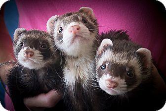 Ferret for adoption in Brandy Station, Virginia - Jasper & Sebastian & Dora