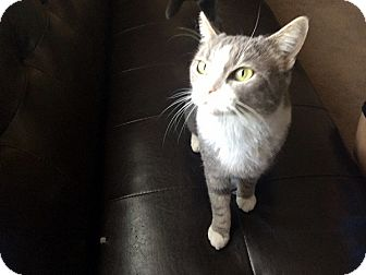 Domestic Shorthair Cat for adoption in Las Vegas, Nevada - Cher