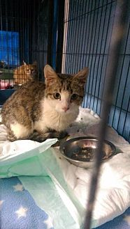 Domestic Shorthair Cat for adoption in Bourbonnais, Illinois - Amos