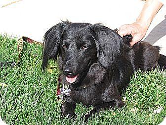 Dachshund Dog for adoption in Forest Ranch, California - Ramsey