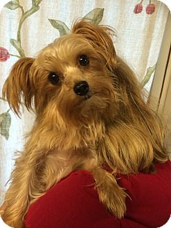 Yorkie, Yorkshire Terrier/Maltese Mix Dog for adoption in Kansas city, Missouri - Elsa