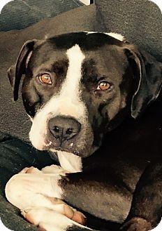 Labrador Retriever Mix Dog for adoption in San Diego, California - Jack