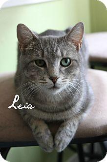 Domestic Shorthair Cat for adoption in McKinney, Texas - Leia