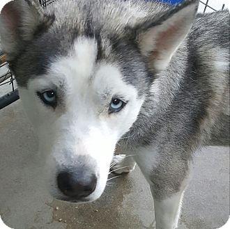 Siberian Husky Dog for adoption in Apple valley, California - Delilah