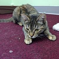 Domestic Mediumhair Cat for adoption in Hudson, Florida - Shirley