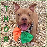 Adopt A Pet :: THOR AKA TANK - Tinton Falls, NJ