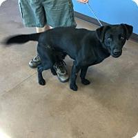 Labrador Retriever Mix Dog for adoption in Wilmington, Ohio - Kirk